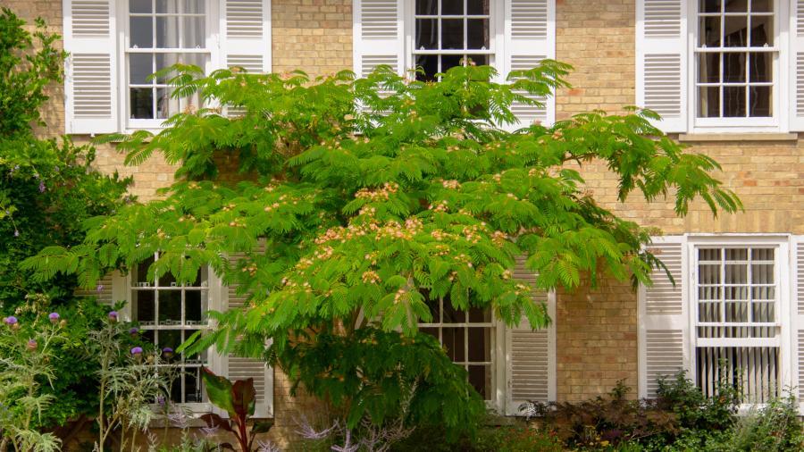Beautiful Silk Tree Blooming In Lee Court