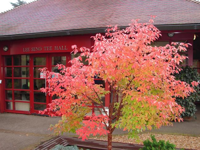 Paperbark maple (Acer griseum) outside the Lee Hall