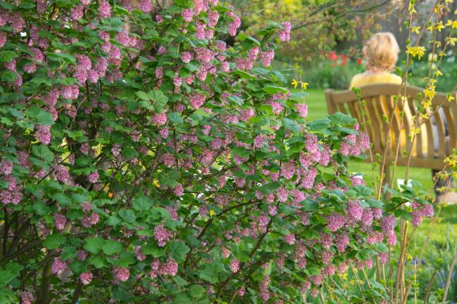 Spring ribes in the garden by Fiona Gilsenan