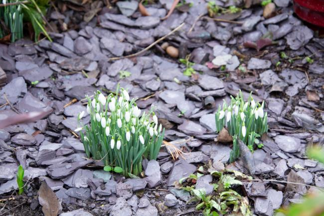 Clumps of snowdrops sit in a 'stream' of slate