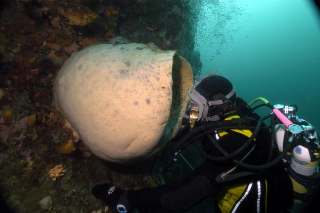 A sponge that has grown to huge proportions