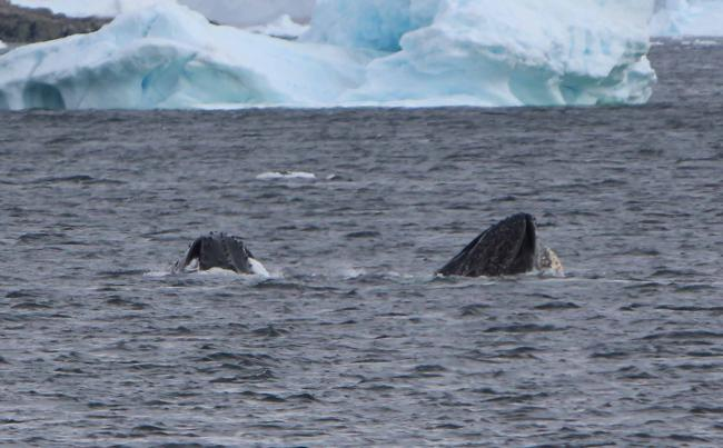 Humpback whales are commonly seen