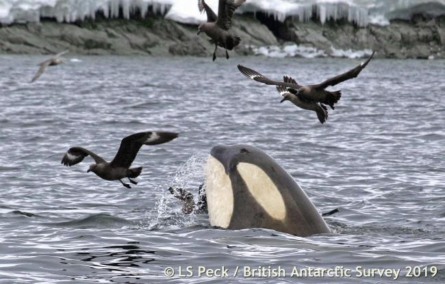Orcas hunt for Weddell seals - their favourite food