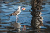 seagull with garbage